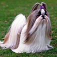 Shih Tzu, Unknown, Tan, Brown and White